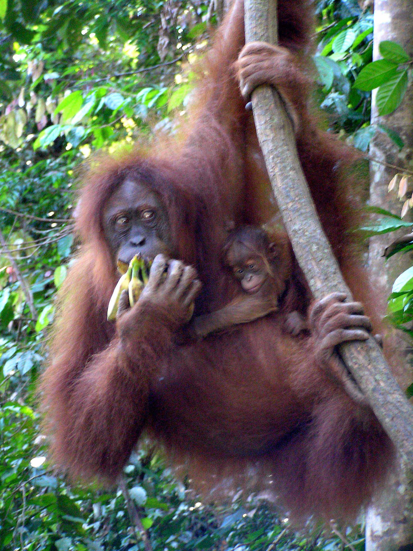 Orangutan Sumatera Kidnapped by an...